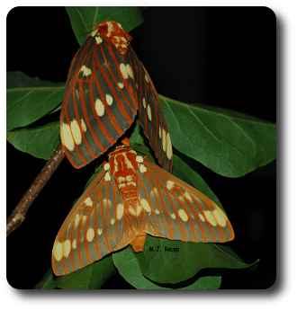 The devil turns regal as a royal walnut moth.