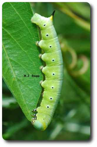 Larvae of hummingbird moths are hornworm caterpillar similar to this one.