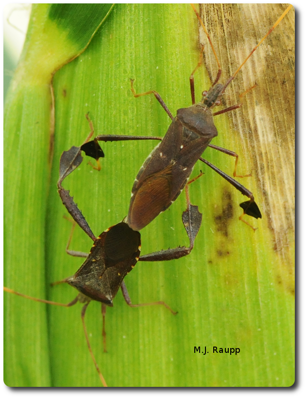 This female leaf-footed bug enjoys a tasty corn snack while engaged with her mate.