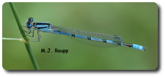 Small damselflies like this bluet often perch horizontally on vegetation.