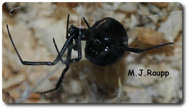 This creepy black spider crawled out of a rodent hole.