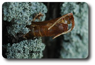 The clearwing moth leaves behind a papery pupal case when it exits the tree.