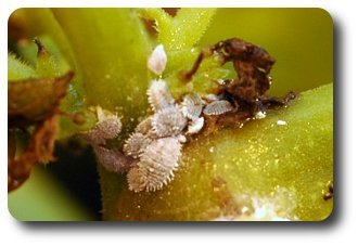 Mealybugs cluster in the angles of branches and around buds and stems.
