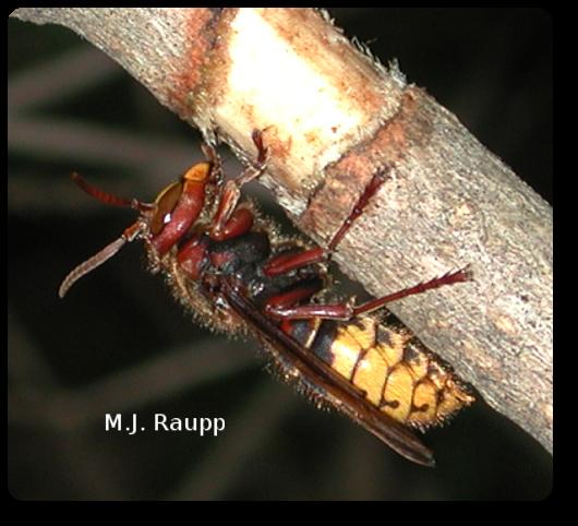 Super Bowl Sized Nest European Hornet Vespa Crabro Bug