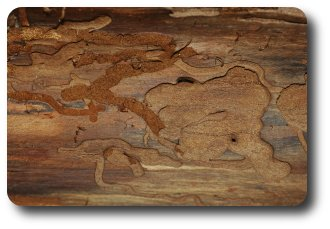 Galleries like these beneath the bark of my firewood are often made by roundheaded borers.
