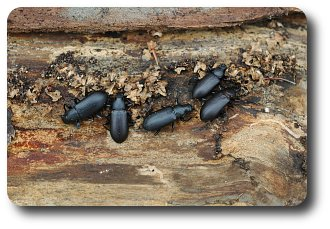 The adult stage of a roundheaded borer is a longhorned beetle named for its very long antennae.