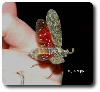 When threatened, the lanternfly reveals bright red hindwings before it flies away.