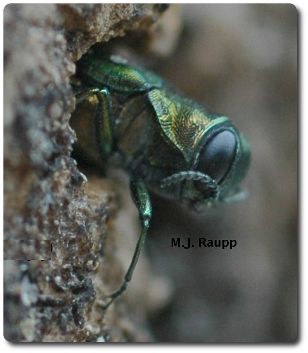 Beautiful, but deadly, an emerald ash borer emerges from a tree after completing larval development.
