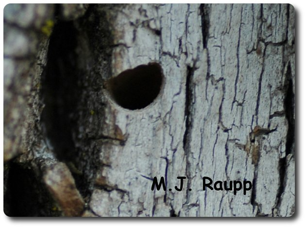 "The EAB adult leaves behind a ""D"" shaped exit hole in the bark of the tree. This is a good clue for diagnosing the presence of this pest."