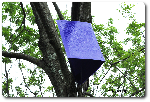 Blue Barney traps hung in trees throughout Maryland will help state officials and researchers learn where EAB is and how rapidly it is spreading.