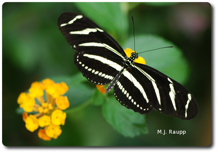 Zebra butterflies have excellent eyesight and patrol a regular route each day to obtain pollen from flowers along their trapline.