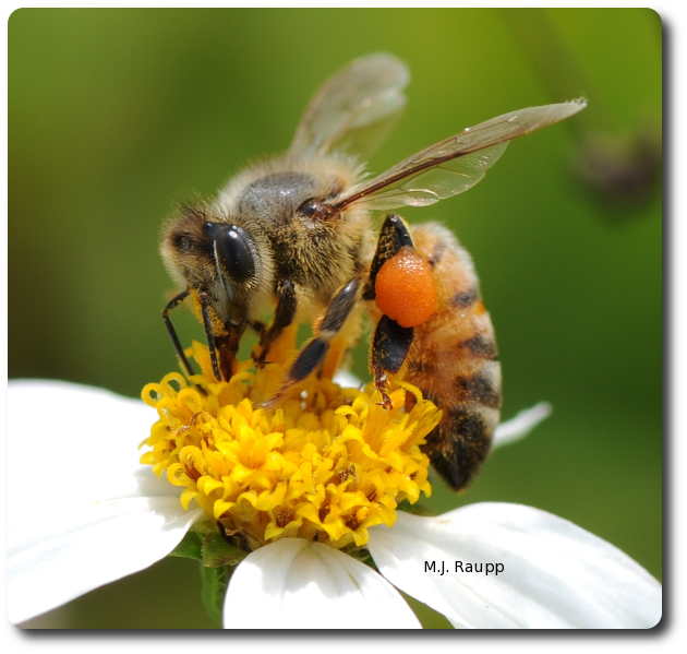 Gathering and transporting pollen is heavy work and a worker sips nectar to get energy needed for flight.