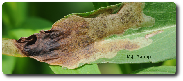 Irregular blotches are a sure sign of leafminers within the leaf.