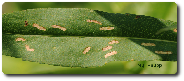 Adult leafminers remove soft tissue and leave behind veins as they feed.