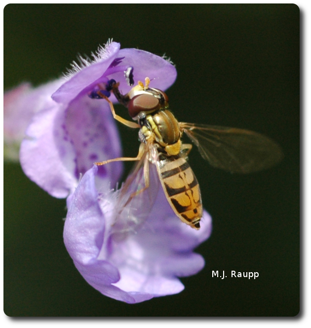When not hunting aphids, flower flies sip nectar and pollinate plants.