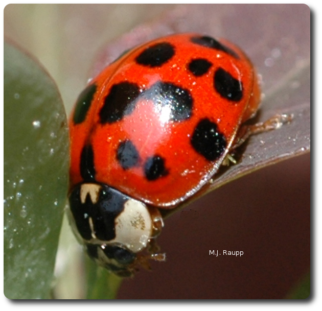 A lady beetle may eat more than 1000 aphids during her lifetime.