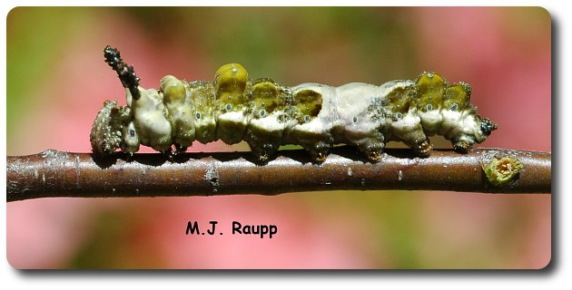 Strange horns, bumps, and wet-look colors adorn the red-spotted purple caterpillar.