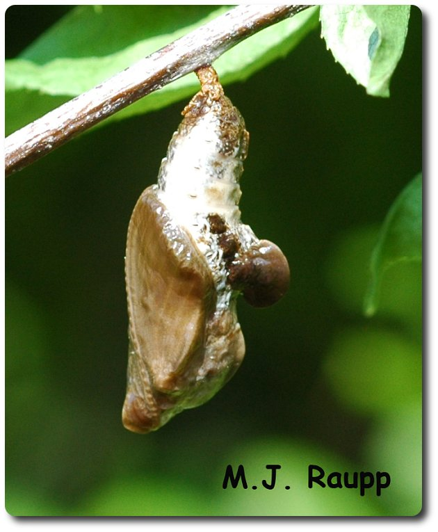 The chrysalis of the red-spotted purple is also camouflaged.