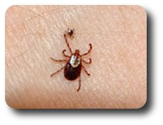 Adult American dog tick, Dermacentor variabilis (larger tick); Ixodes scapularis (smaller tick)