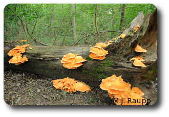 The beautiful chicken of the woods fungus is home to many insects.