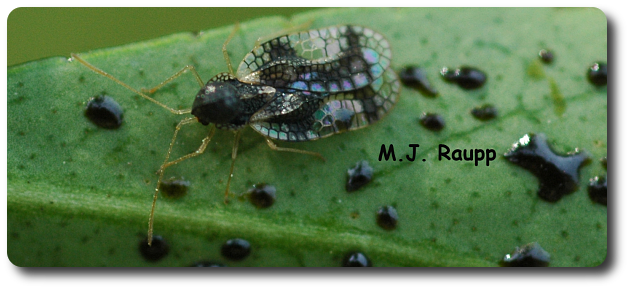 Fecal spots on the underside of leaves are a sure sign of lace bugs such as this gorgeous andromeda lace bug.