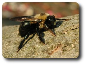 Male Carpenter Bee.