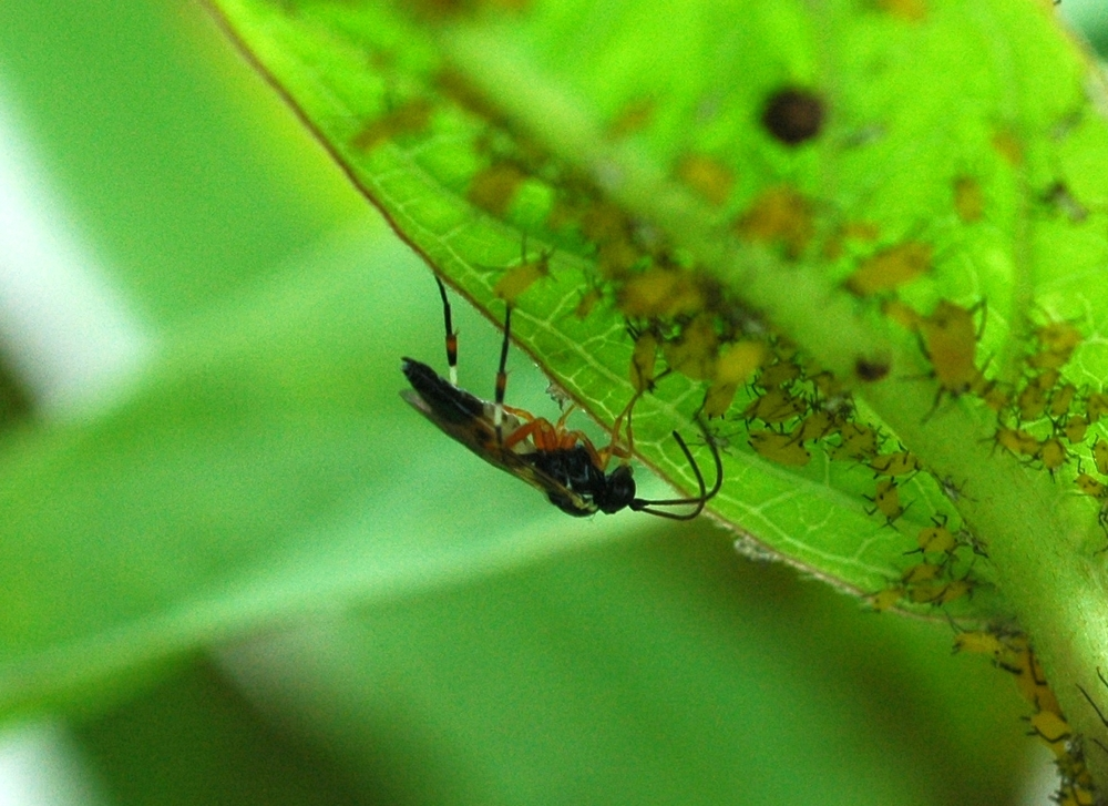 A beneficial parasitic wasp stops by a leaf for a quick carbohydrate fix.
