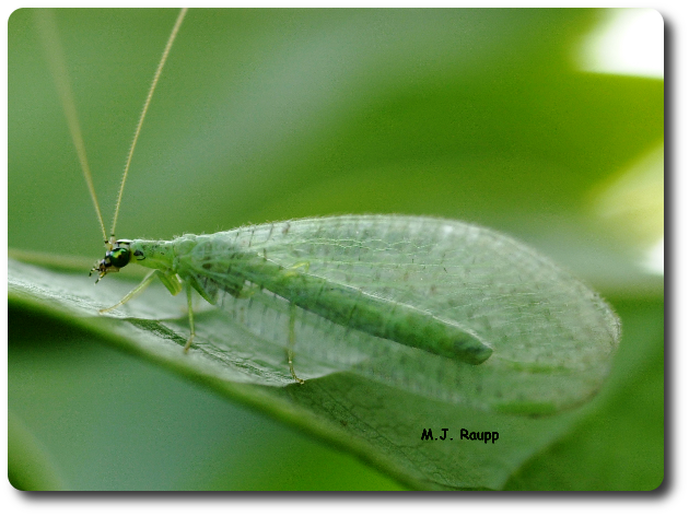 It's obvious how the beautiful lacewing got its name.