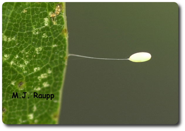 Lacewing eggs are deposited at the tip of slender stalks.