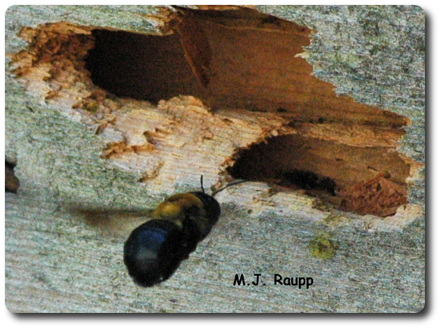 Woodpeckers cause much collateral damage as they search for carpenter bees in wood.