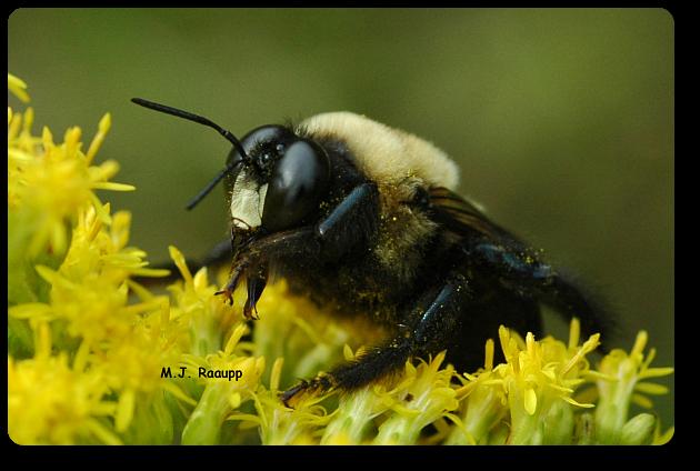 Carpenter bees are important native pollinators.