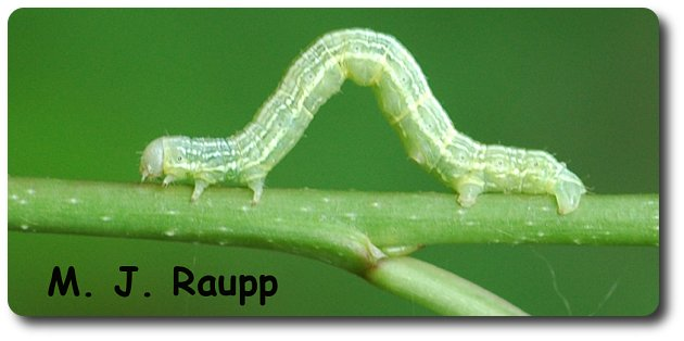 Another common name for cankerworms is inchworms. They seem to measure the world inches at a time.
