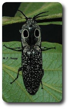 False eyespots may help the eyed elater look scary to predators.