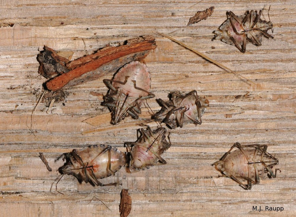 Dead stink bugs in my wood pile indicate that not all stinkers survived the winter.
