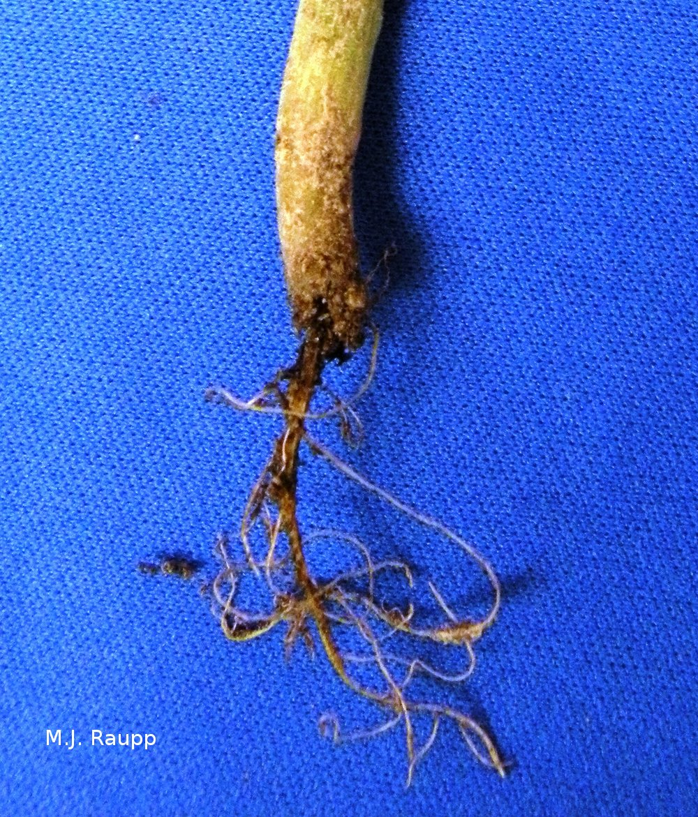Roots of seedlings can be destroyed by seed corn maggots.