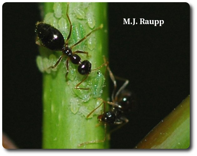 The ant in the center of this picture strokes the aphid with its antennae. The aphid produces a drop of honeydew in return. Sweet!