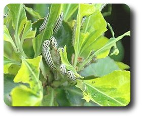 Eunonymus Leaf Notcher caterpillars, Pryeria sinica, ravage the leaves of a euonymus shrub.