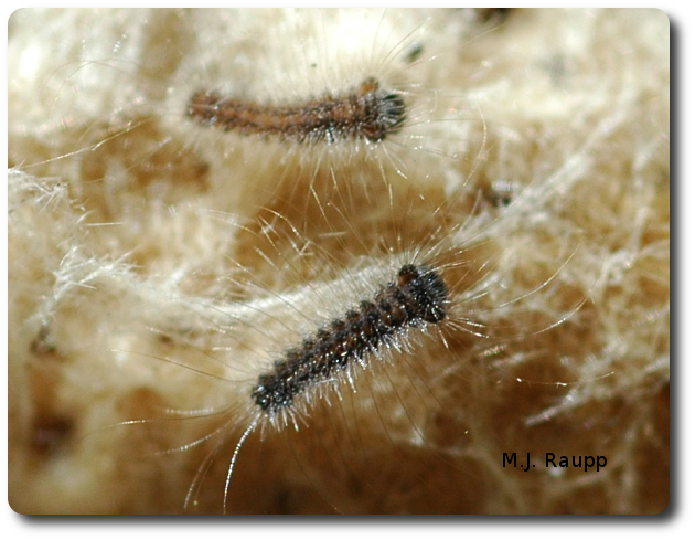 In recent weeks billions of tiny gypsy moth larvae like these two hatched from egg masses. Each egg mass may contain more than a thousand eggs.