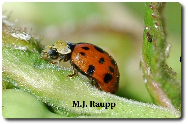 This Asian multicolored ladybug will turn plump, juicy aphids into dozens of beetle eggs.