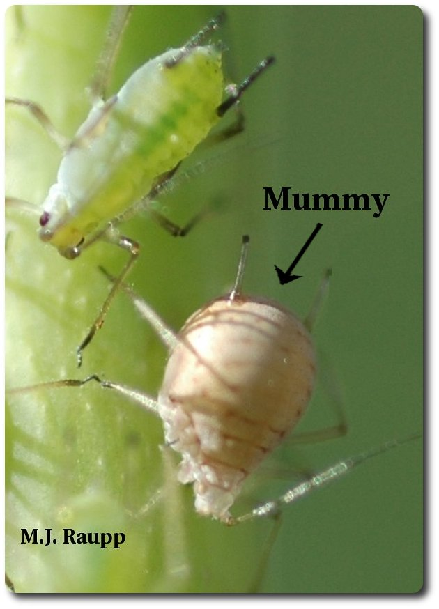 This brown aphid mummy has a parasitic wasp inside.
