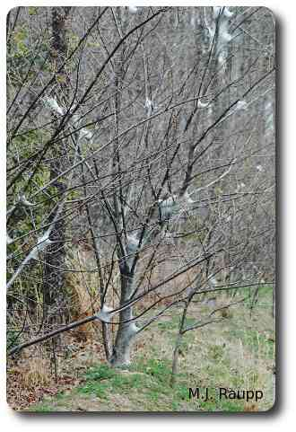 Small and sometimes even large trees may be stripped by hungry tent caterpillars.