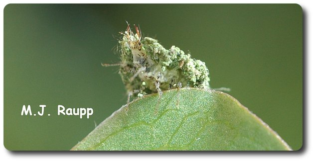 You can see the ferocious jaws of the lacewing larva beneath its coat of plant debris.
