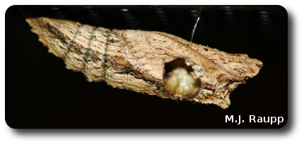 The large hole in this chrysalis was made by the wasp as it emerged from its host.