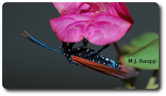 The beautiful polka-dot wasp moth uses an ultrasonic serenade to attract her mate.
