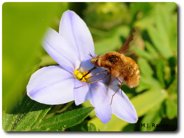 Bee flies are remarkably hairy and sport an exceptionally long proboscis.