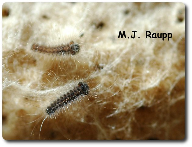 More than a thousand tiny caterpillars like these two may hatch from a single egg mass.