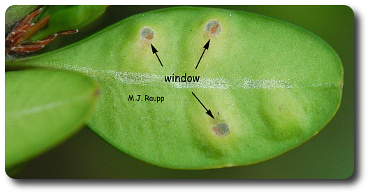 After completing development and to escape from the leaf, leafminer larvae cut windows in the lower surface.