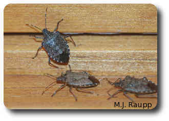 Learn what to do about stink bugs in your home and garden.