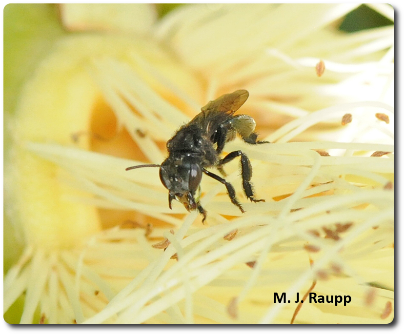 Foraging workers visit beautiful flower blossoms to collect nectar and pollen for the hive.