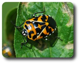 This harlequin bug was causing severe damage to Pam's tomatoes.
